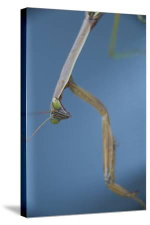 A Praying Mantis-Michael Melford-Stretched Canvas Print