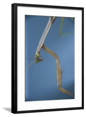 A Praying Mantis-Michael Melford-Framed Photographic Print
