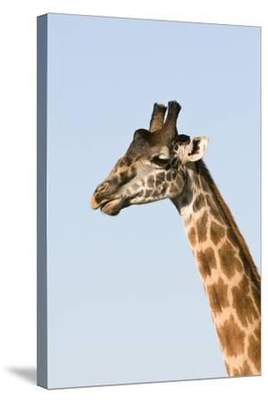 Portrait of a Male Maasai Giraffe, Giraffa Camelopardalis Tippelskirchi-Sergio Pitamitz-Stretched Canvas Print