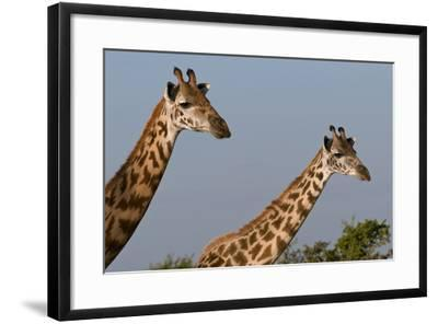 Portrait of Two Female Maasai Giraffes, Giraffa Camelopardalis Tippelskirchi-Sergio Pitamitz-Framed Photographic Print