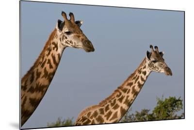 Portrait of Two Female Maasai Giraffes, Giraffa Camelopardalis Tippelskirchi-Sergio Pitamitz-Mounted Photographic Print