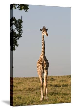 Portrait of a Female Maasai Giraffe, Giraffa Camelopardalis Tippelskirchi-Sergio Pitamitz-Stretched Canvas Print