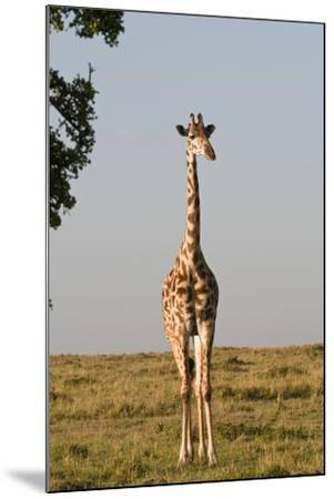 Portrait of a Female Maasai Giraffe, Giraffa Camelopardalis Tippelskirchi-Sergio Pitamitz-Mounted Photographic Print