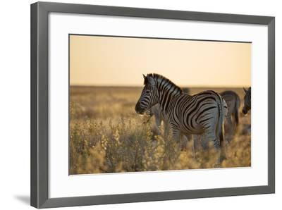 Plains Zebras, Equus Quagga, Stand in Tall Grassland at Sunset-Alex Saberi-Framed Photographic Print