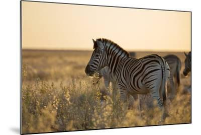 Plains Zebras, Equus Quagga, Stand in Tall Grassland at Sunset-Alex Saberi-Mounted Photographic Print