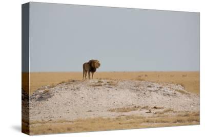 A Lion, Panthera Leo, Surveying His Territory-Alex Saberi-Stretched Canvas Print