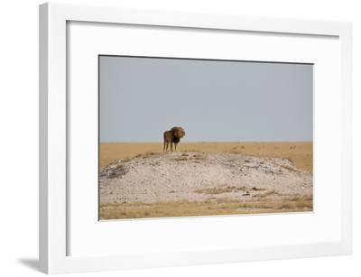 A Lion, Panthera Leo, Surveying His Territory-Alex Saberi-Framed Photographic Print