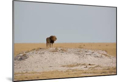 A Lion, Panthera Leo, Surveying His Territory-Alex Saberi-Mounted Photographic Print
