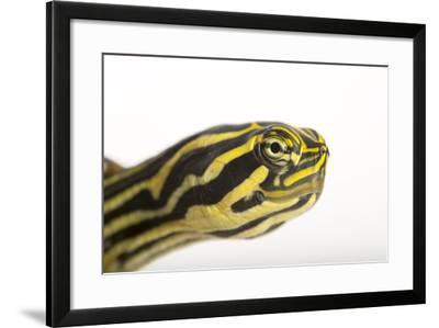 A Peninsula Cooter at the National Mississippi River Museum and Aquarium in Dubuque, Iowa-Joel Sartore-Framed Photographic Print