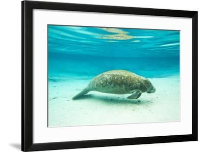 Portrait of a Florida Manatee in Clear Blue Water-Mike Theiss-Framed Photographic Print