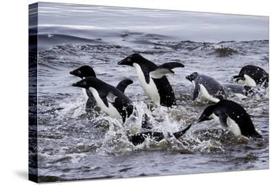 Adelie Penguins on Devil's Island in the Weddell Sea of Antarctica-Jim Richardson-Stretched Canvas Print