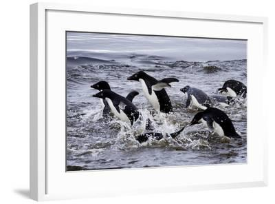 Adelie Penguins on Devil's Island in the Weddell Sea of Antarctica-Jim Richardson-Framed Photographic Print