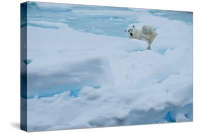 A Polar Bear Lounging on Drift Ice-Michael Melford-Stretched Canvas Print