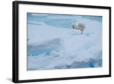 A Polar Bear Lounging on Drift Ice-Michael Melford-Framed Photographic Print