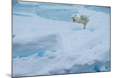 A Polar Bear Lounging on Drift Ice-Michael Melford-Mounted Photographic Print