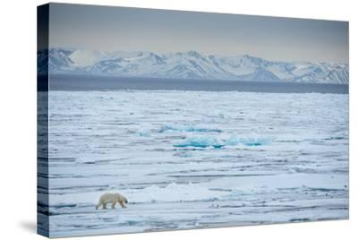 A Lone Polar Bear Traverses the Pack Ice on Hinlopen Strait-Michael Melford-Stretched Canvas Print