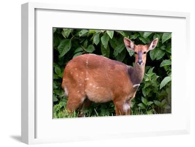 A Lone Bushbuck Stands Alert in the Forest Near Kenya National Park-Shannon Switzer-Framed Photographic Print