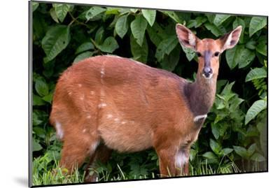 A Lone Bushbuck Stands Alert in the Forest Near Kenya National Park-Shannon Switzer-Mounted Photographic Print