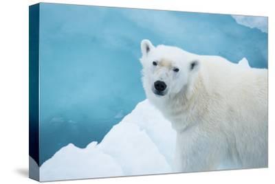 An Alert Polar Bear on Drift Ice-Michael Melford-Stretched Canvas Print