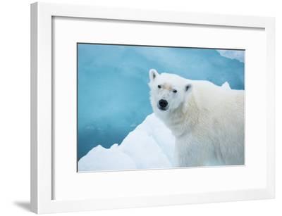 An Alert Polar Bear on Drift Ice-Michael Melford-Framed Photographic Print
