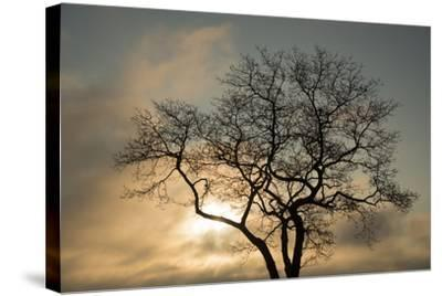 A White Oak Tree at Sunrise-Michael Melford-Stretched Canvas Print