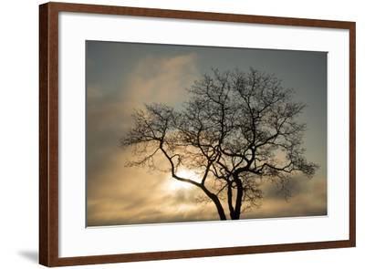 A White Oak Tree at Sunrise-Michael Melford-Framed Photographic Print