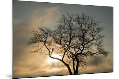 A White Oak Tree at Sunrise-Michael Melford-Mounted Photographic Print