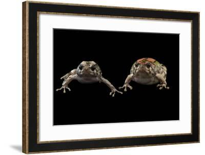 Endangered Malagasy Rainbow Frogs at the National Mississippi River Museum and Aquarium-Joel Sartore-Framed Photographic Print