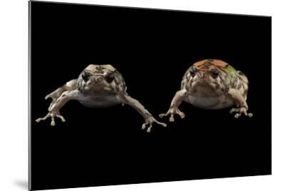 Endangered Malagasy Rainbow Frogs at the National Mississippi River Museum and Aquarium-Joel Sartore-Mounted Photographic Print
