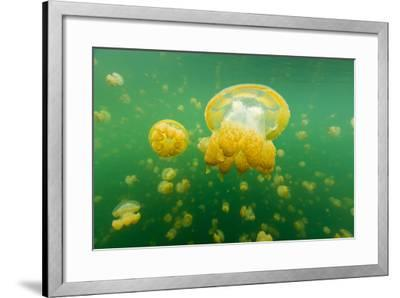 Golden Jellyfish Float in Jellyfish Lake, a Freshwater Lake on Palau-Michael Melford-Framed Photographic Print