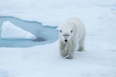 A Polar Bear Strides Confidently on an Ice Flow-Michael Melford-Framed Photographic Print