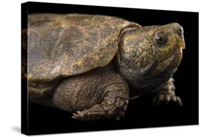 An Endangered Big-Headed Turtle at the National Mississippi River Museum and Aquarium-Joel Sartore-Stretched Canvas Print