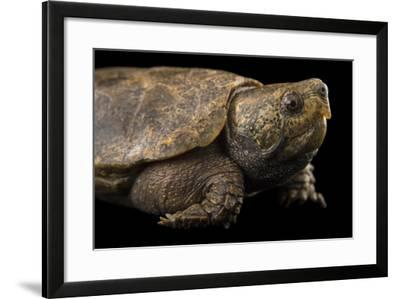 An Endangered Big-Headed Turtle at the National Mississippi River Museum and Aquarium-Joel Sartore-Framed Photographic Print