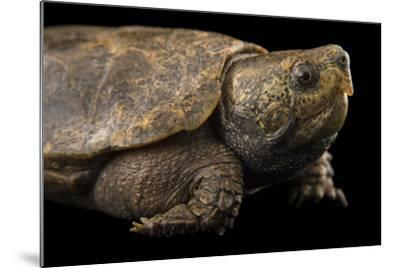 An Endangered Big-Headed Turtle at the National Mississippi River Museum and Aquarium-Joel Sartore-Mounted Photographic Print