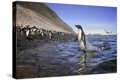 An Adelie Penguin Emerges from the Ocean-Jim Richardson-Stretched Canvas Print