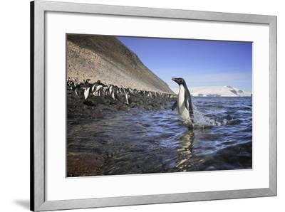 An Adelie Penguin Emerges from the Ocean-Jim Richardson-Framed Photographic Print