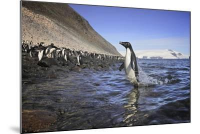 An Adelie Penguin Emerges from the Ocean-Jim Richardson-Mounted Photographic Print
