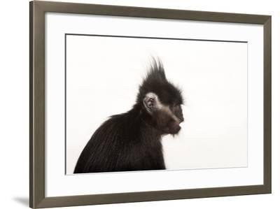 An Endangered Francois' Langur, Trachypithecus Francoisi, at the Kansas City Zoo-Joel Sartore-Framed Photographic Print