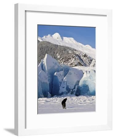Howling on a Winter Afternoon a Black Wolf Calls Pack at the Face of Mendenhall Glacier-Design Pics Inc-Framed Photographic Print