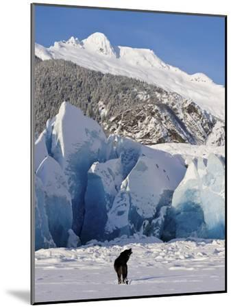 Howling on a Winter Afternoon a Black Wolf Calls Pack at the Face of Mendenhall Glacier-Design Pics Inc-Mounted Photographic Print