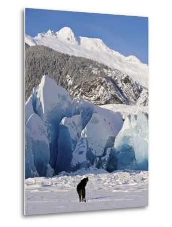 Howling on a Winter Afternoon a Black Wolf Calls Pack at the Face of Mendenhall Glacier-Design Pics Inc-Metal Print