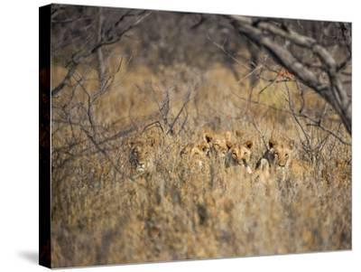 A Pride of Lionesses, Panthera Leo, Resting in Tall Grass under Trees at Sunrise-Alex Saberi-Stretched Canvas Print