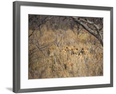 A Pride of Lionesses, Panthera Leo, Resting in Tall Grass under Trees at Sunrise-Alex Saberi-Framed Photographic Print