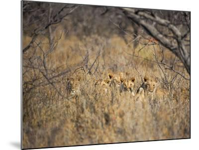 A Pride of Lionesses, Panthera Leo, Resting in Tall Grass under Trees at Sunrise-Alex Saberi-Mounted Photographic Print