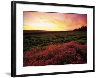 Pink Wild Flowers at Sunset, Cedarberg Wilderness Area, South Africa-Keith Ladzinski-Framed Photographic Print