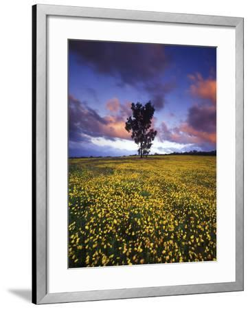 Wildflowers and Lone Tree at Pakhuis Pass, Cederberg Wilderness Area-Keith Ladzinski-Framed Photographic Print