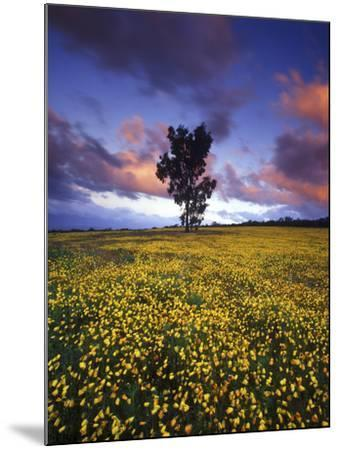 Wildflowers and Lone Tree at Pakhuis Pass, Cederberg Wilderness Area-Keith Ladzinski-Mounted Photographic Print