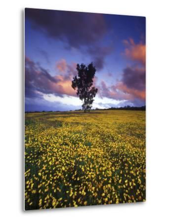 Wildflowers and Lone Tree at Pakhuis Pass, Cederberg Wilderness Area-Keith Ladzinski-Metal Print