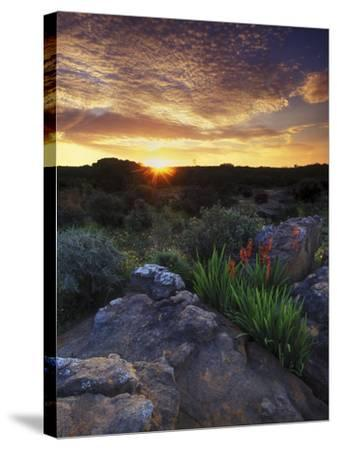 Wildflowers and Sunset at Cederberg Wilderness Area, South Africa-Keith Ladzinski-Stretched Canvas Print