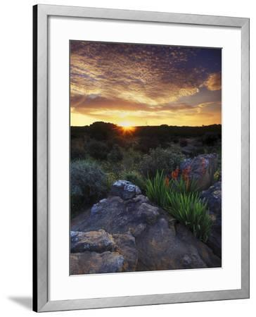 Wildflowers and Sunset at Cederberg Wilderness Area, South Africa-Keith Ladzinski-Framed Photographic Print